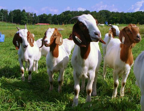 P3: Bạn đã biết gì về sữa dê?